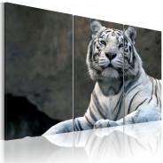 Obraz - Biały tygrys