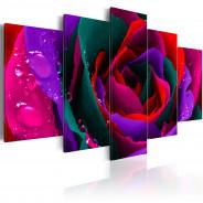 Obraz - Multicoloured rose
